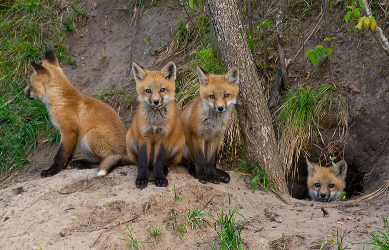 Foxfamily_26362591_original