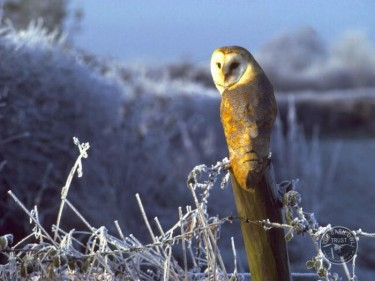 barn_owl_perched_in_frost_mike_reid-375x281