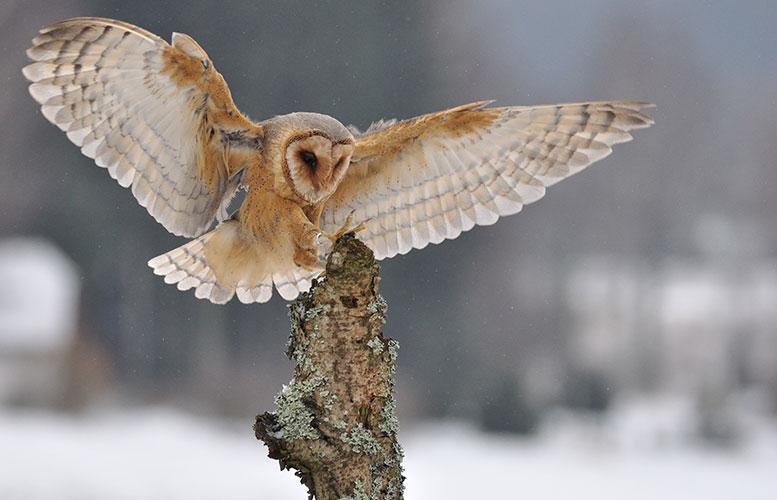 owl_35214711_original