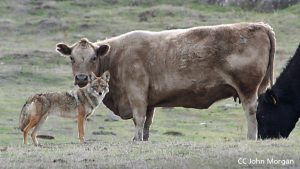 fkr-cc-john_morgan-cow-coyote-web