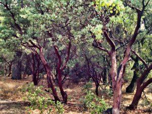 ManzanitaTrees