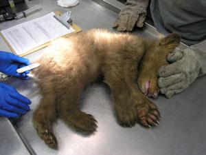 Bear-CDWF